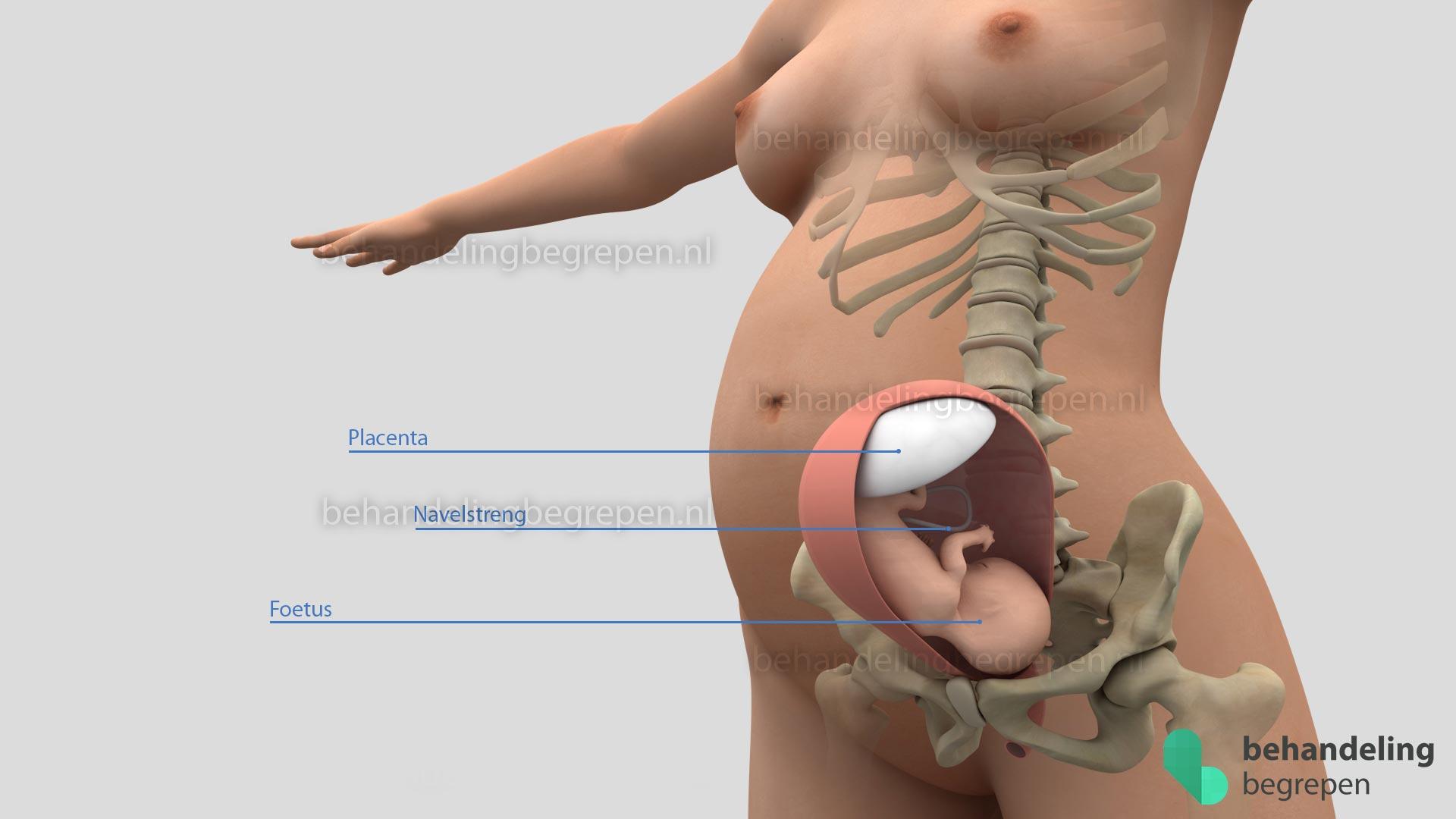 Baarmoeder-Skelet-SD